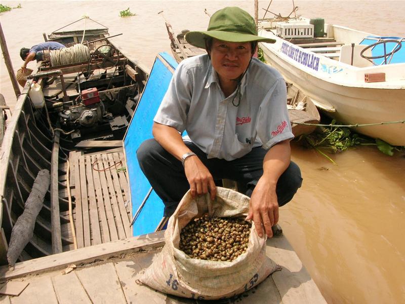 Xem người dân khai thác ốc gạo chợ lách