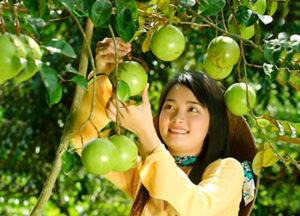Vườn trái cây Chợ Lách Bến Tre