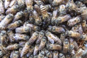 Tham quan vườn nuôi ong - Du lịch Bến Tre Tiền Giang
