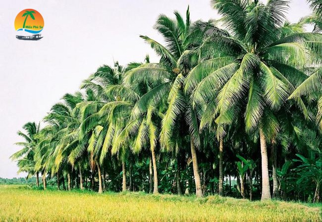 Vườn dừa - Du lịch Bến Tre