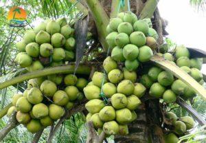 Dừa trái - Du lịch Bến Tre