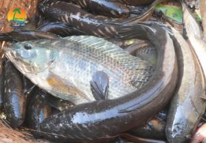 Tát mương bắt cá - Du lịch Mỹ Tho