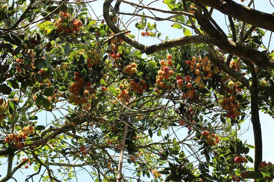 Vườn trái cây Tân Phú Bến Tre