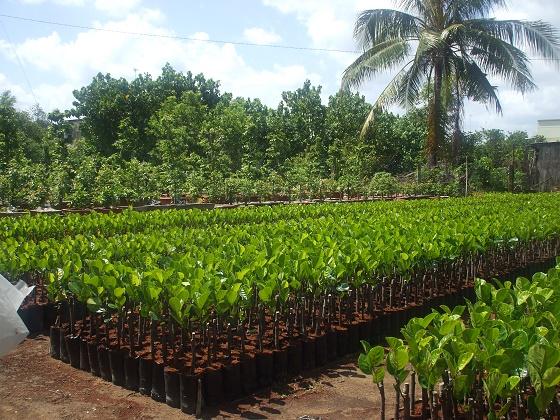 Vườn ươm cây giống Tân Thiền - Chợ Lách