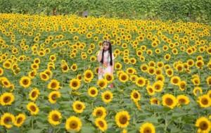 Hoa Hướng Dương - Vườn hoa Mãn Đình Hồng