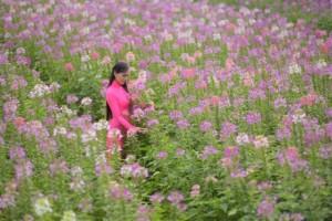 Hoa Hồng Ri - Vườn hoa Mãn Đình Hồng