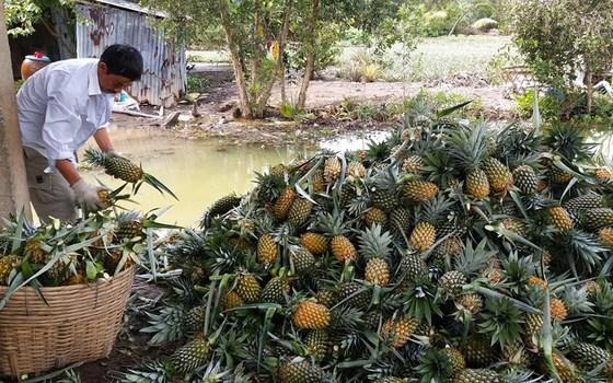 Hàng trăm ha dứa ở vùng Đồng Tháp Mười