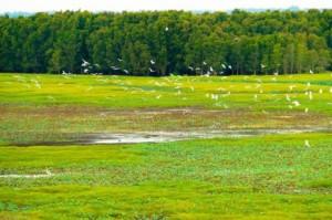 Đàn cò bay lượn ở vùng Đồng Tháp Mười