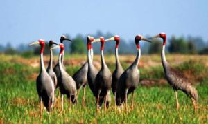 Sếu đầu đỏ ở Tràm chim