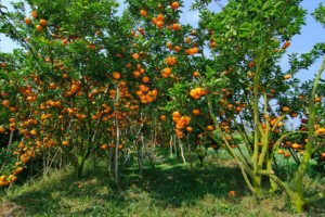 Vườn quýt Lai Vung - Những điểm du lịch mới nhất ở Miền Tây